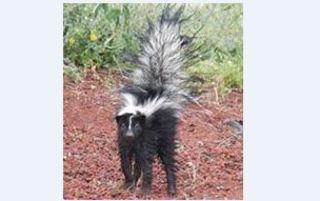 Oro Valley on alert for rabid skunk