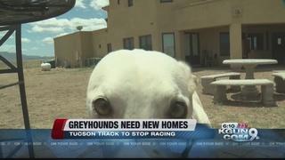 Hundreds of racing greyhounds need homes