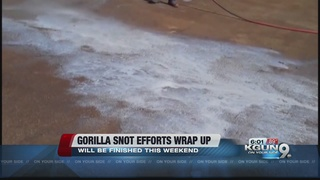 ADEQ wrapping up gorilla snot efforts