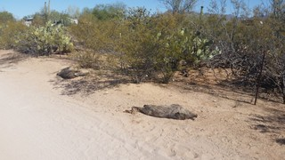 Officials: Suspect killed 3 javelinas in Tucson
