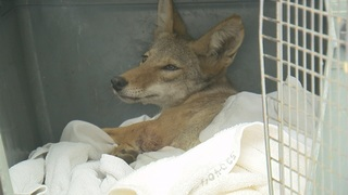 Coyote shot- Coyote friends and foes speak out
