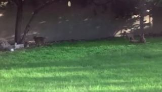Bobcat family found in backyard