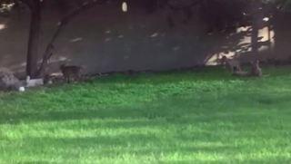 Bobcat family found in backyard