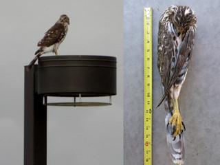 Cooper's hawk illegally killed in Tucson