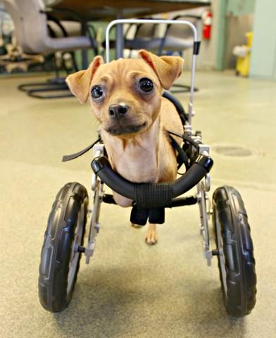Dog Born With No Front Legs Gets Wheelchair Kgun9 Com