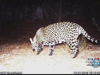 Wild Jaguars can make US comeback