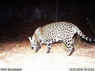 Jaguar spotted near Sierra Vista