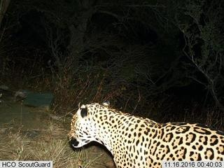 Third jaguar spotted in Southern Arizona