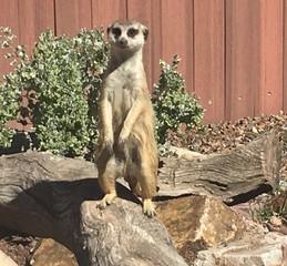 Reid Park Zoo meerkat dies in tunnel collapse
