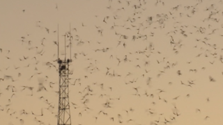 Watch thousands of bats take flight in Tucson