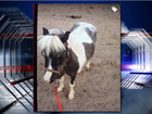 Family searching for lost pony in Tucson