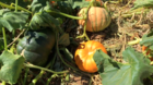 Visit Apple Annie's Fall Pumpkin Celebration