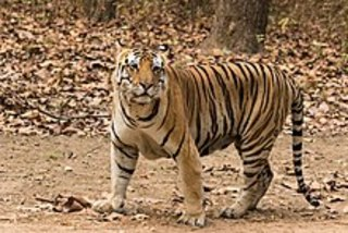 Police end standoff with toy tiger