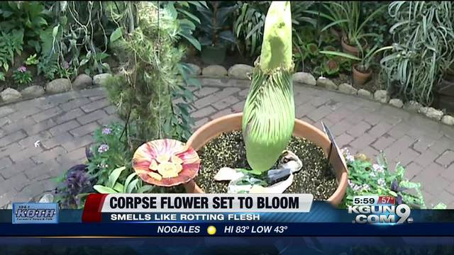 Rare corpse flower set to bloom in Tucson Botanical Gardens - ABC15 ...