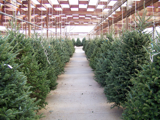 Amazon Plans To Sell And Ship Real Christmas Trees This