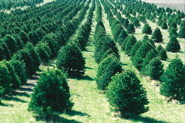 Where to pick up a fresh Christmas tree in San Diego