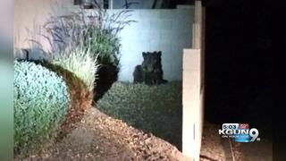 AZGFD: Bear euthanized on northeast side