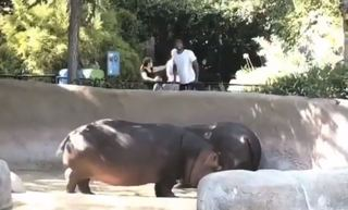 VIDEO: Man spanks hippo at Los Angeles Zoo